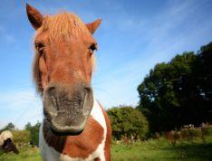 też koń